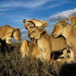 ライオン、群れの王はメス 映画と違う野生の掟…オスが群れを離れたら、二度と戻って来ないのが本当