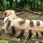 サル防止のために虎模様ペイントされたイヌ