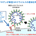 「ハゲていると新型コロナウイルス感染症が重症化する」という可能性