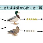 魚卵は鳥に食べられても生きたまま糞から出てくると判明! 孤立した湖や池に魚が住む理由