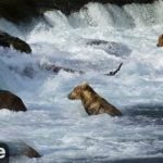 今年もサケを狩りに帰ってきた!アラスカのヒグマたちのライブ映像配信中