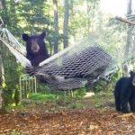 ハンモックで遊ぶクマの親子